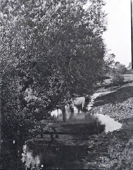 Ayrshire cow in a stream behind The Grange