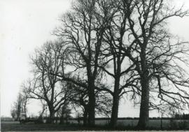 Felling the dead elm trees behind Glebelands mid 1970s